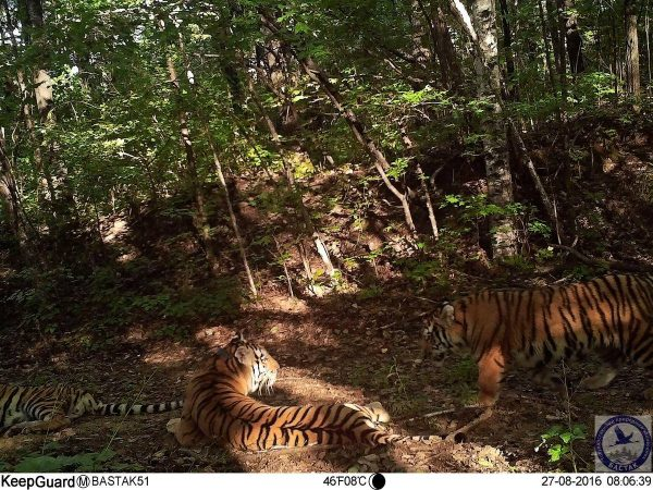 Amur tiger update 2016
