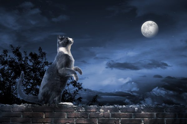 cat standing in the moonlight