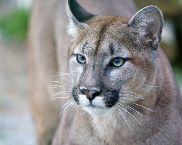 Mountain Lion Foundation MacJewell