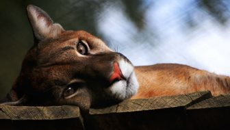 Saving Mountain Lions