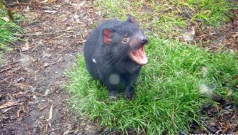 DevilArk Mission to Save the Tasmanian Devil