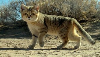 The Arabian Sand Cat Rediscovered