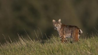 Supporting Bobcat Conservation