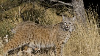 URGENT!  Help Ohio's Bobcats Now!
