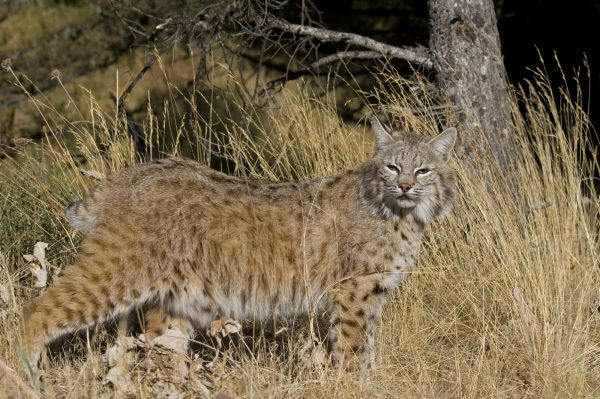 Bobcat photo by Wildatart