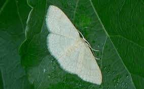 the type of moth that was in Gracey's water