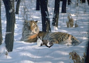 Amur Tiger in the Snow with Gracey