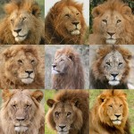 Lions from the Lion Guardians Project