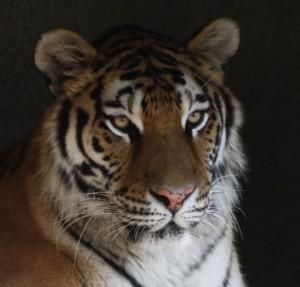 Amur Tiger Columbus Zoo