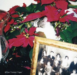 Gracey, The Tiniest Tiger hiding in poinsettia