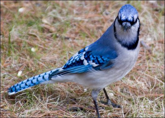 Bossy Backyard Blue Jay