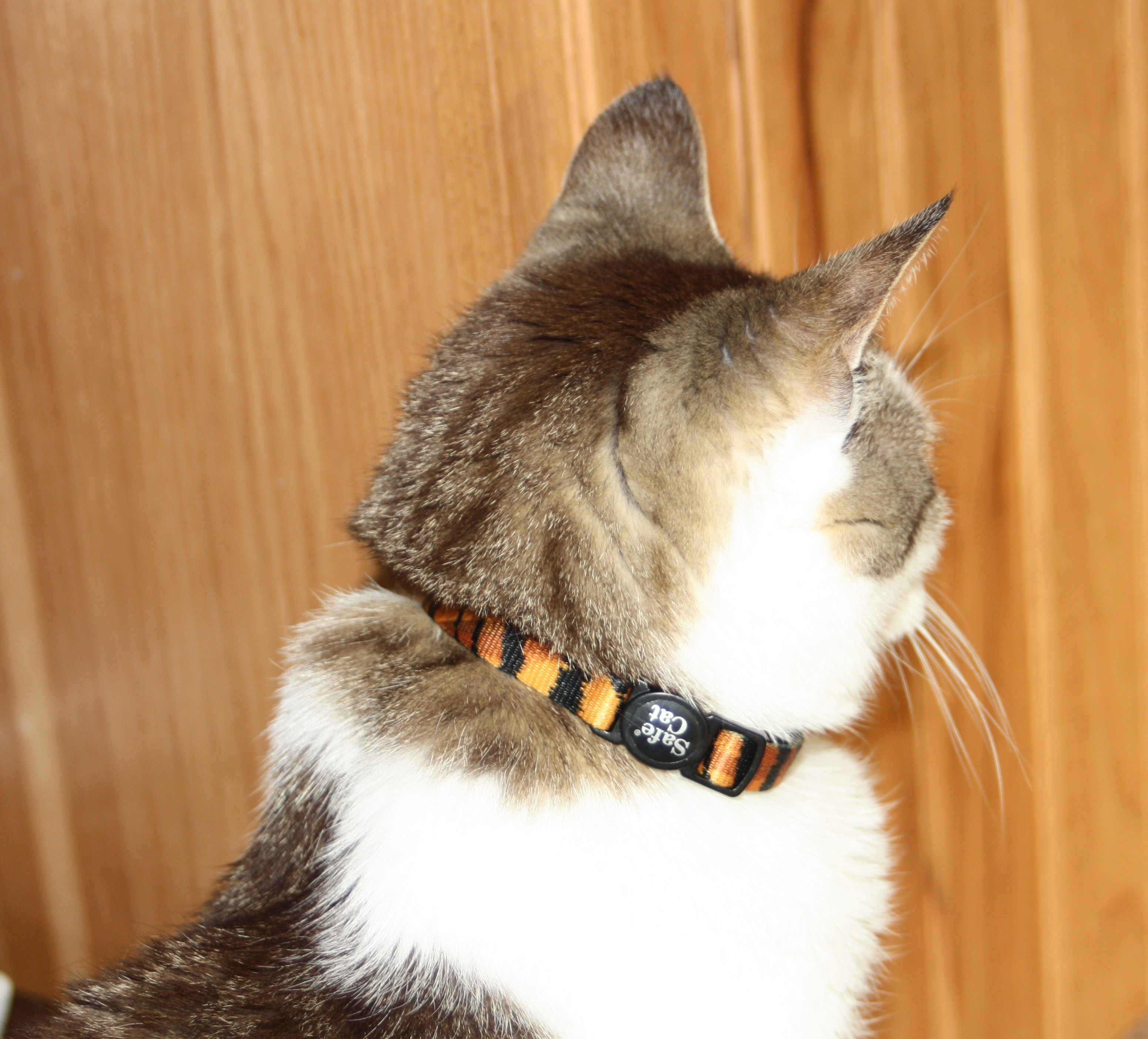 The Tiniest Tiger's  Safe Cat Training Collar
