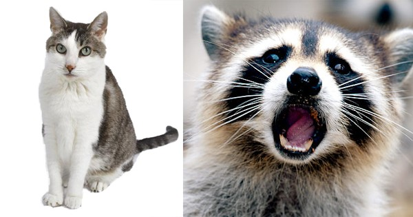 The Cat and the Raccoon Encounter