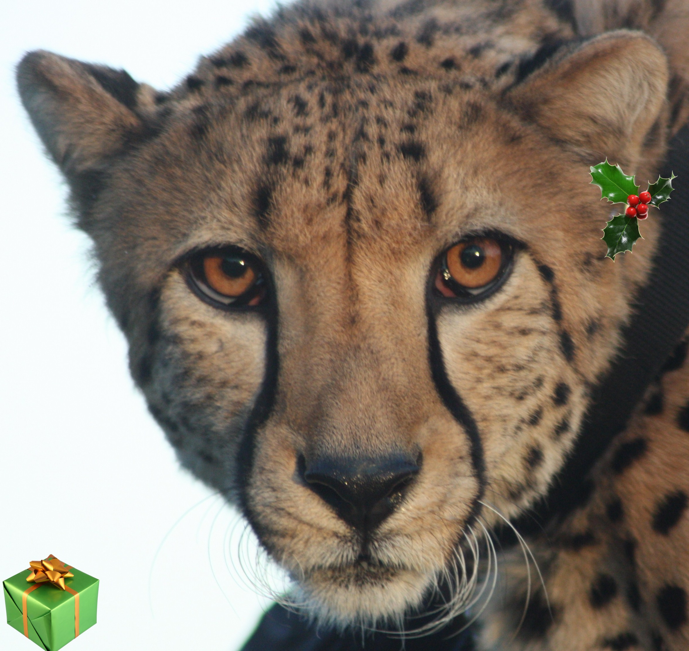 The Tiniest Tiger's 9 (now it is 2 ) Days of Christmas!