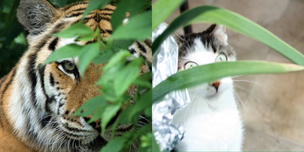 Tiger Eyes Through the Leaves