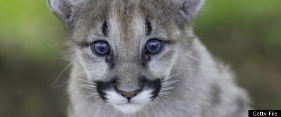 Eastern Cougar Extinct Getty file