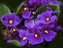 Image of African Violet