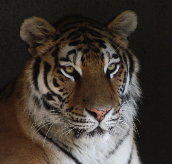 Tigers! You Can Help. Most Important Action in 10 years.