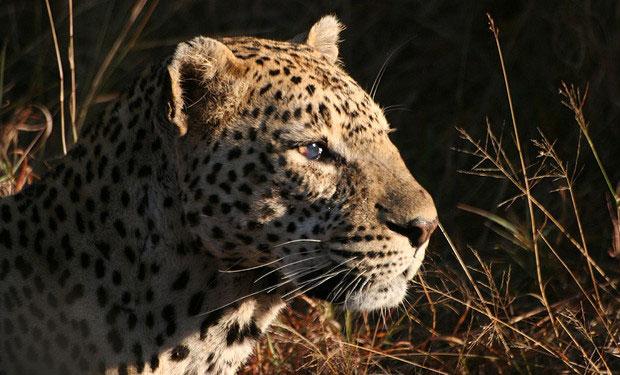 Lagadema, Eye of the Leopard
