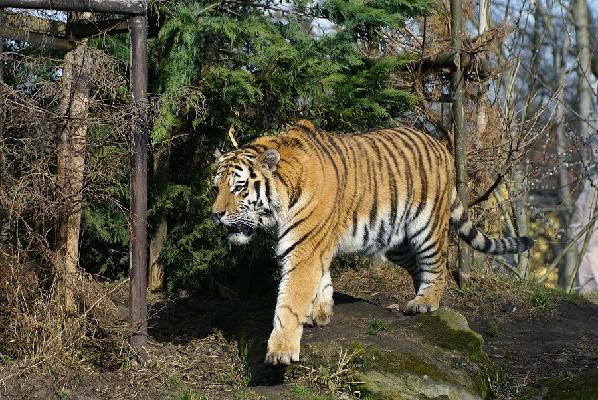 Tiger in the Taiga
