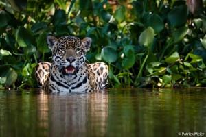 Jaguar photo by Patrick Meier