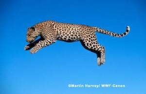 Leaping Leopard Harvey