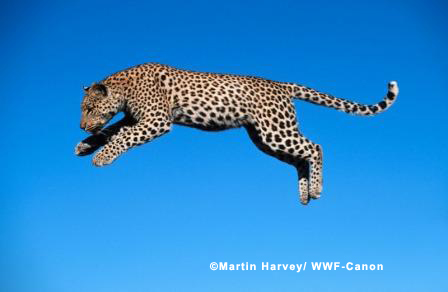 Leaping Leopard Harvey