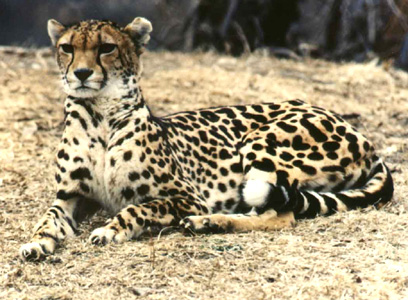 King Cheetah Image