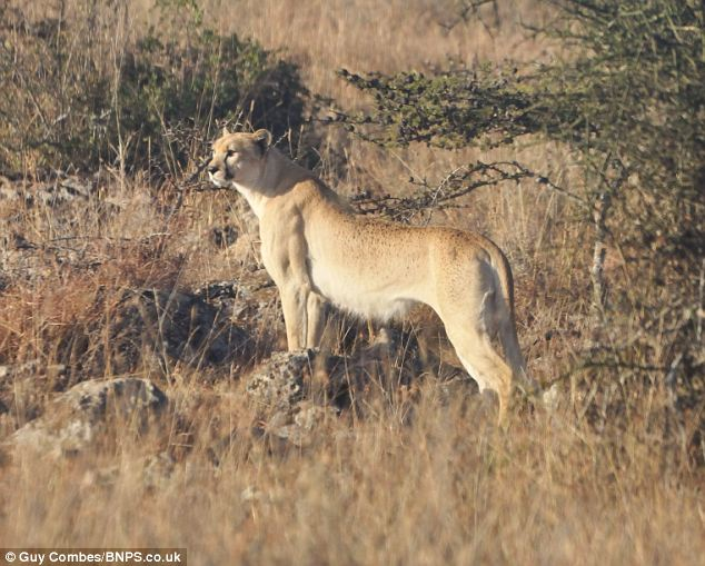 Spotless Cheetah Sighted in Kenya, First in Nearly 100 Years