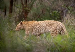 Strawberry Leopard