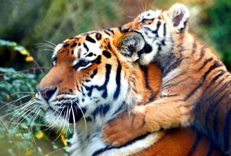 Tiger Dad Watches Over Cubs
