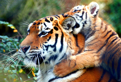 tiger father adopts cubs