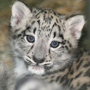 First Video of Snow Leopard Mother and Cubs in Dens