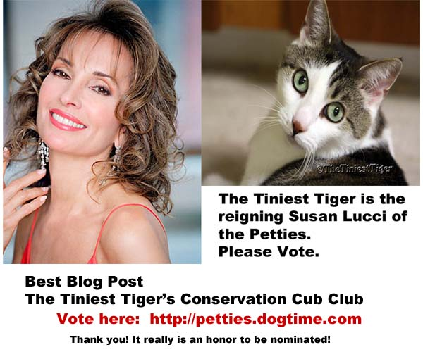 Gracey is the Susan Lucci of the Petties!  Vote for The Tiniest Tiger