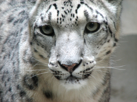 Snow Leopard Research Camera Adoption!