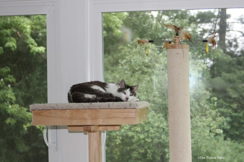 Gracey napping on top of Cat Power Tower