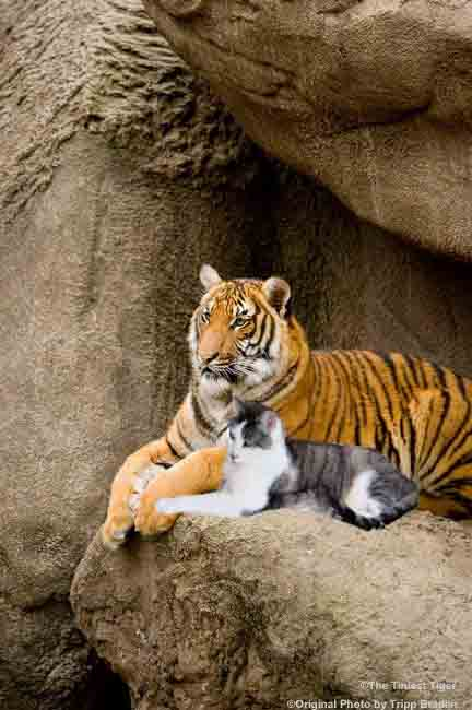 Amur Tiger with Gracey