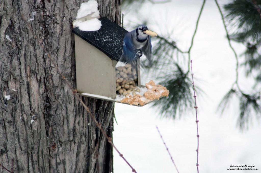 Bossy Backyard Blue Jay Flys Away with Peanut