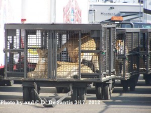 Circus Lions and Tigers by Dee DeSantis