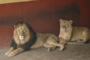 Addis Zoo Lions