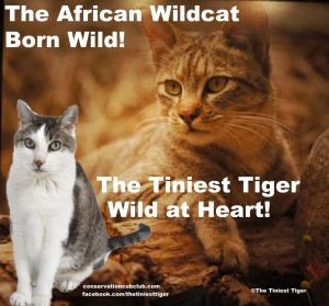 The African Wildcat   True Nature of Cats by Purina One