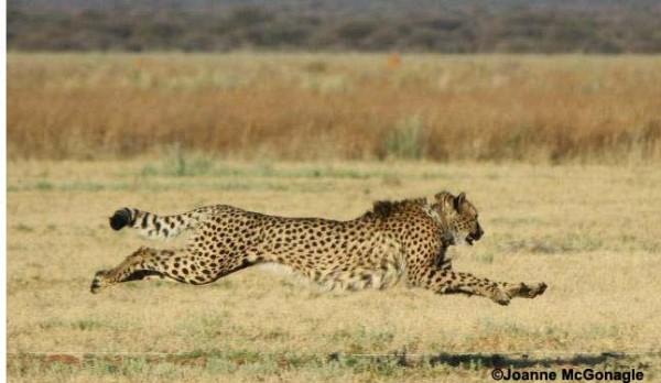 Cheetah running at CCF