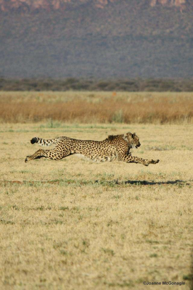 Cheetah Agility and Maneuverability More Important than Speed