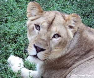 lioness at Columbus Zoo