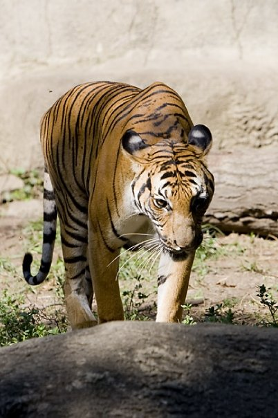 Tripp Braden's photo of tiger