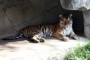 tiger in stone cave at columbus Zoo