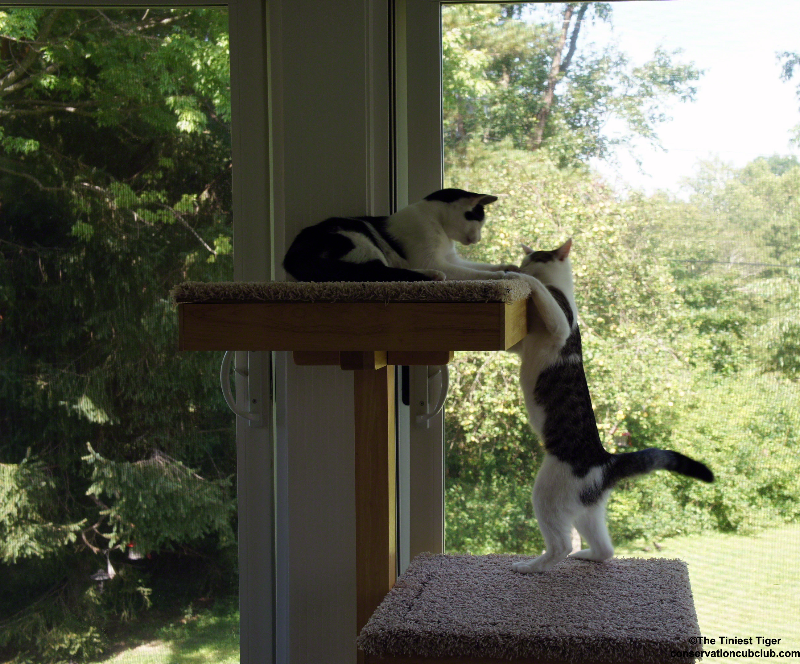 Cat Turf Wars   Battle for the Top of the Cat Power Tower