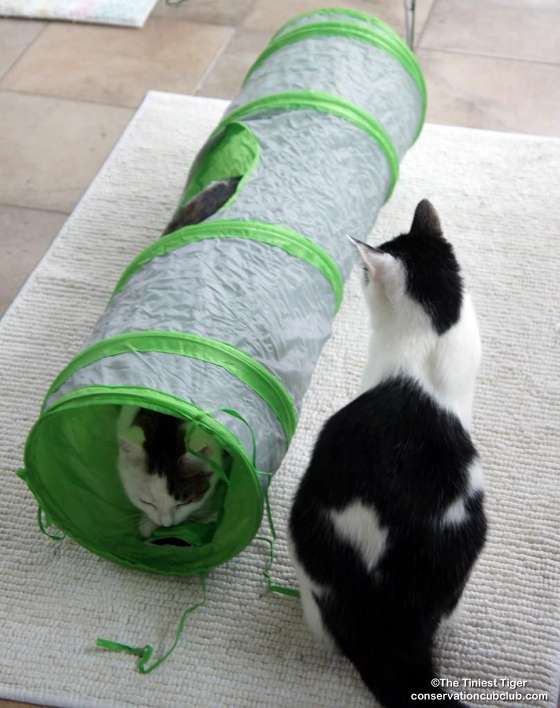 Annie and Eddie Cat Agility
