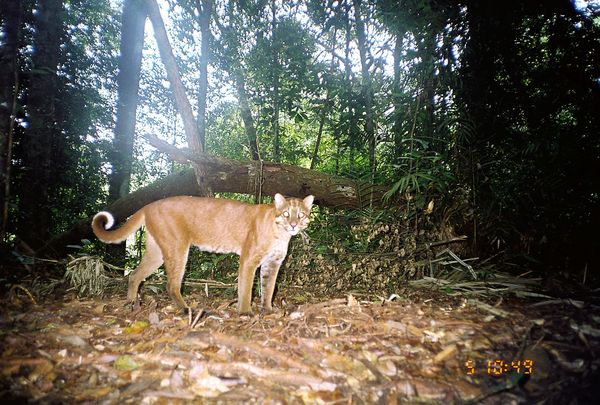 Cat Selfies   Wild Cats Caught on Camera Traps
