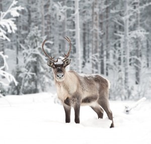 Reindeer in scandinavia
